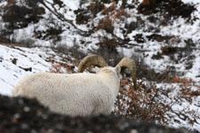 デナリ国立公園のオオツノヒツジの画像008