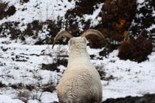 デナリ国立公園のオオツノヒツジの画像009