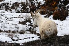 デナリ国立公園のオオツノヒツジの画像010