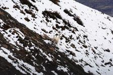 デナリ国立公園のオオツノヒツジの画像012