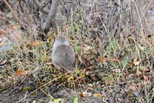 デナリ国立公園のジリスの画像001