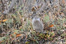デナリ国立公園のジリスの画像002