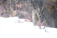 デナリ国立公園のジリスの画像003