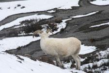 デナリ国立公園のオオツノヒツジの画像013