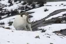 デナリ国立公園のオオツノヒツジの画像014