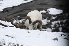 デナリ国立公園のオオツノヒツジの画像016