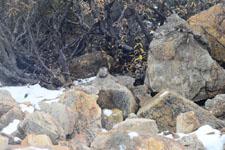 デナリ国立公園のネズミ