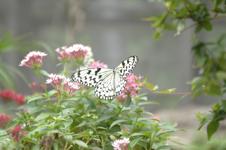 オオゴマダラチョウの画像001
