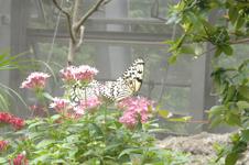 オオゴマダラチョウの画像002