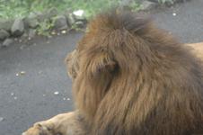 多摩動物公園のライオンの画像001