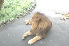 多摩動物公園のライオンの画像002