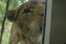 多摩動物公園のライオンの画像003