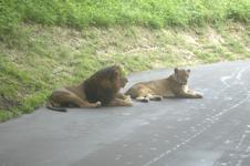 多摩動物公園のライオンの画像004