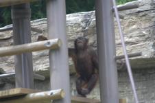 多摩動物公園のオランウータンの画像001