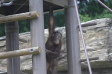 多摩動物公園のオランウータンの画像002