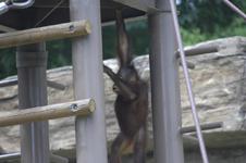 多摩動物公園のオランウータンの画像003