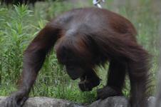 多摩動物公園のオランウータンの画像004