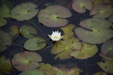 尾瀬のハスの花