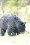 イエローストーン国立公園のブラックベアーの画像091