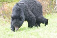 イエローストーン国立公園のブラックベアーの画像093