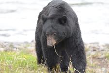 イエローストーン国立公園のブラックベアーの画像100