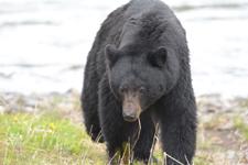 イエローストーン国立公園のブラックベアーの画像101
