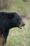 イエローストーン国立公園のブラックベアーの画像104