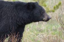 イエローストーン国立公園のブラックベアーの画像105