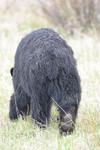 イエローストーン国立公園のブラックベアーの画像106