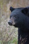 イエローストーン国立公園のブラックベアーの画像107