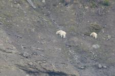イエローストーン国立公園のシロイワヤギの画像001