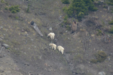 イエローストーン国立公園のシロイワヤギの画像002