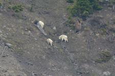 イエローストーン国立公園のシロイワヤギの画像003