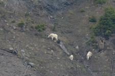 イエローストーン国立公園のシロイワヤギの画像004