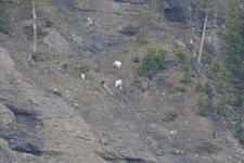 イエローストーン国立公園のシロイワヤギの画像005