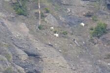 イエローストーン国立公園のシロイワヤギの画像006