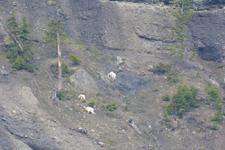 イエローストーン国立公園のシロイワヤギの画像007