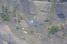 イエローストーン国立公園のシロイワヤギの画像008