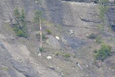 イエローストーン国立公園のシロイワヤギの画像009