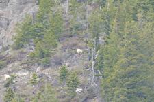 イエローストーン国立公園のシロイワヤギの画像010