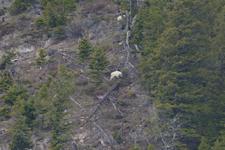 イエローストーン国立公園のシロイワヤギの画像011