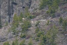 イエローストーン国立公園のシロイワヤギの画像012