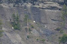 イエローストーン国立公園のシロイワヤギの画像013