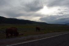 イエローストーン国立公園のアメリカバイソンの画像017