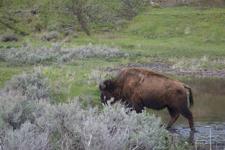 イエローストーン国立公園のアメリカバイソンの画像019
