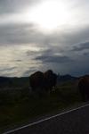 イエローストーン国立公園のアメリカバイソンの画像021
