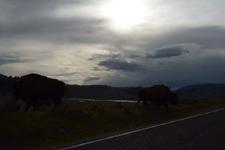 イエローストーン国立公園のアメリカバイソンの画像022