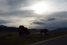 イエローストーン国立公園のアメリカバイソンの画像023