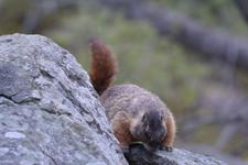 イエローストーン国立公園のマーモットの画像001