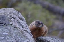 イエローストーン国立公園のマーモットの画像003